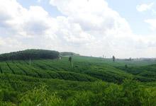 コピー用紙原材料の植林地風景