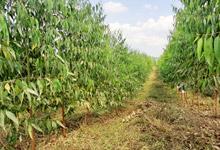 植樹7ヶ月ユーカリ(約3~5m)