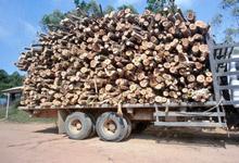 伐採後工場に運ばれる植林木