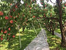 福島県の桃農家:糖度が上がり高級フルーツ専門店などに販路拡大